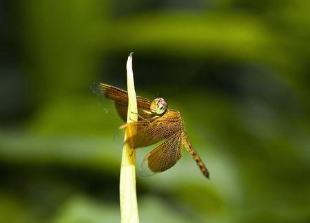 damsels: orange dragonfly resting Stock Photo