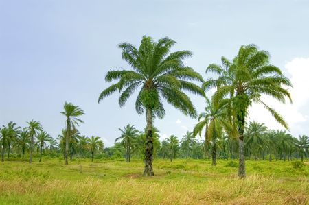 Palm oil plantation Stock Photo - 2819290