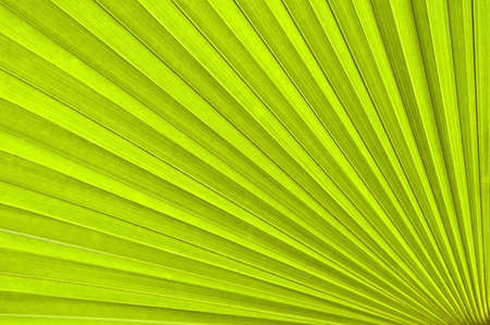 Chusan Palm Leaf section. Trachycarpus fortunie or Chinese Palm Stock Photo - 2819236