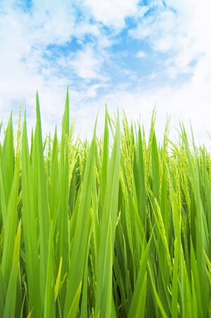 green rice field Stock Photo - 2830781