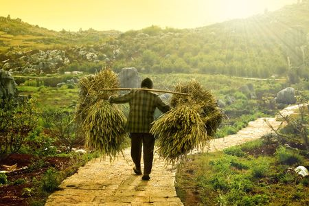 hard working woman: a farmer carrying dry wheat after harvesting