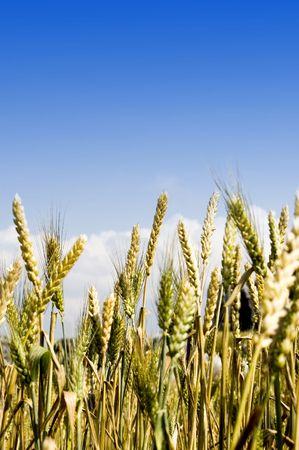 viento soplando: el viento sopla m�s de grano amarillo sobre el terreno  Foto de archivo