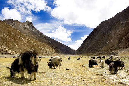 grazing goats, blue sky and mountain as background photo