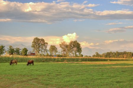 grazing cow in sunset Stock Photo - 2845906