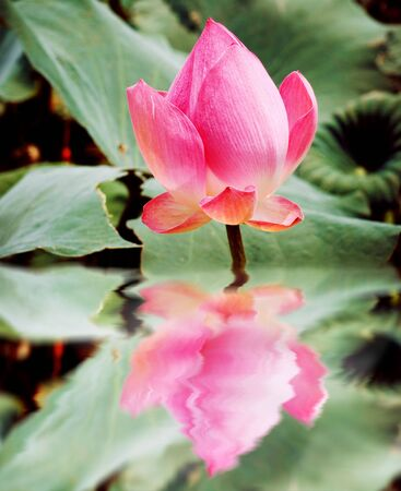 reflection of beautiful pink lotus photo