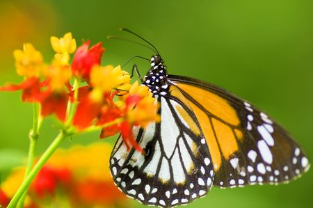 Monarch butterfly feeding on flower Banque d'images