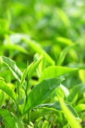 Tea Leaf with Plantation in the Background (Morning) Stock Photo - 3194850