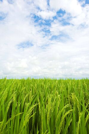 green rice field Stock Photo - 3313998
