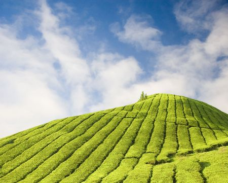 Tea Plantations Stock Photo - 3314011