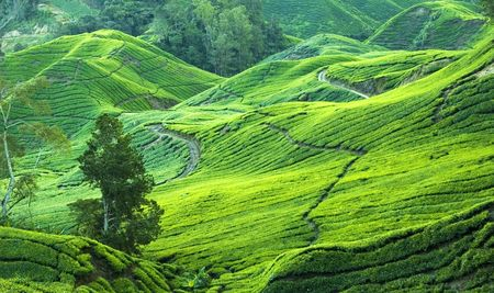 tea plantation view in morning photo
