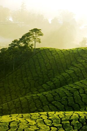 misty morning in tea farm at Cameron Highland Malaysia photo