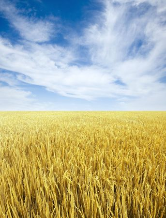rice field: Golden rice field and sky