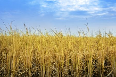 Paddy rice fields after harvesting with blue sky Stock Photo - 3631896