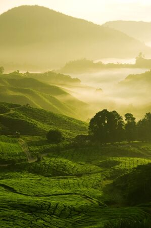 tea estates: misty morning in tea farm at Cameron Highland Malaysia