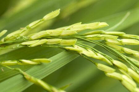Close up of green paddy rice photo