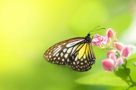 papillon rose: Une alimentation papillon sur une fleur