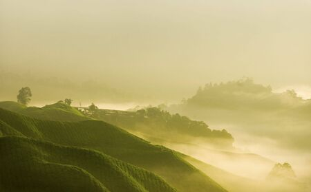 cameron highlands: Tea Farm - Misty morning in tea farm at Cameron Highland Malaysia