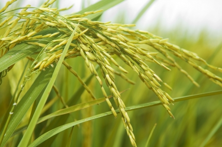 rice fields: Paddy rice. Rice crop ready for harvest. Stock Photo