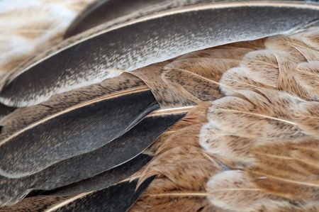 Macro shot feathers of a brown chicken. photo