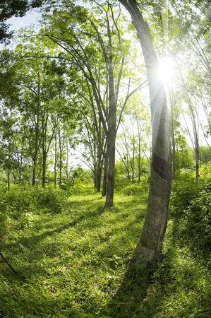 thru: Sunbeam shine thru the rubber tree plantation.