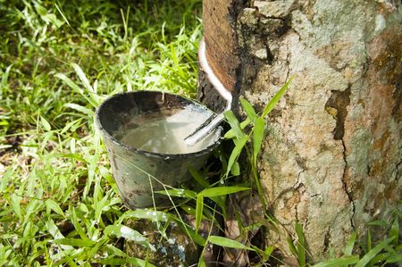 Rubber flows from the rubber tree into the cup after a raining night. Stock Photo - 4841403