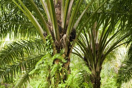 cpo: Palm oil to be extracted from its fruits.  Stock Photo