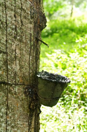 Rubber flows from the rubber tree into the cup Stock Photo - 4942129