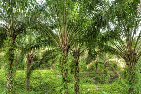 forest products: Palm oil to be extracted from its fruits. Stock Photo