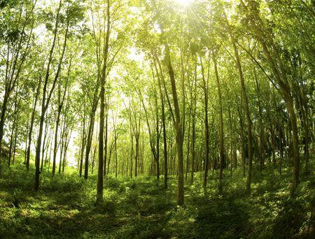 Sunbeam shine through the rubber tree plantation.  photo
