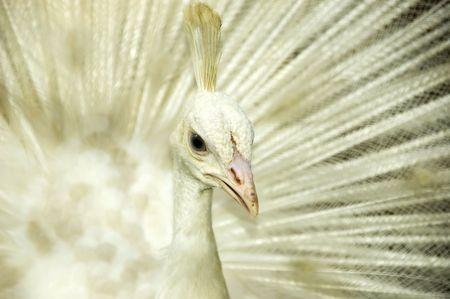 Pavo real blanco. Origen de la India y Sri Lanka. Foto de archivo - 5093603