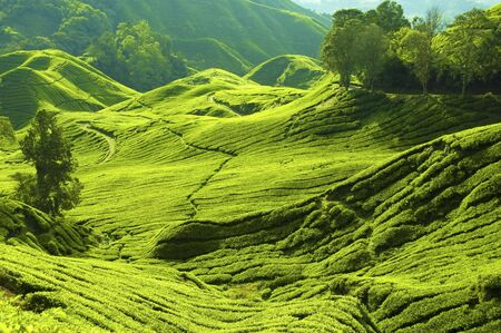 cameron highlands: Tea farm at Cameron Highland Malaysia.