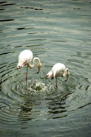 Two flamingos drinking from pond. photo