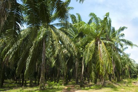 palm oil plantation: Palm oil to be extracted from its fruits. Stock Photo