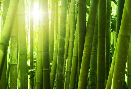 bambou: Forêt de bambous d'Asie de soleil du matin.