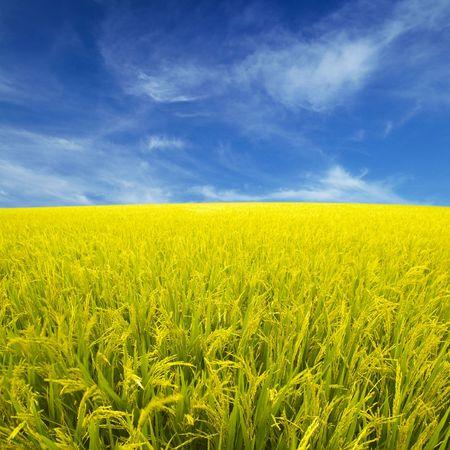 Golden neloupané rýže pole připravené pro sklizeň.