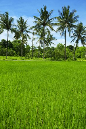 Rice field at Bali, Indonesia. Coconut tree as background. Stock Photo - 5378558