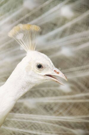 A  male white peacock displaying its feather. Stock Photo - 5583848