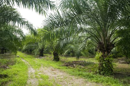 palm fruits: Palm oil to be extracted from its fruits. Fruits turn red when ripe. Photo taken at palm oil plantation in Malaysia, which is also the world largest palm oil exporting country. Stock Photo