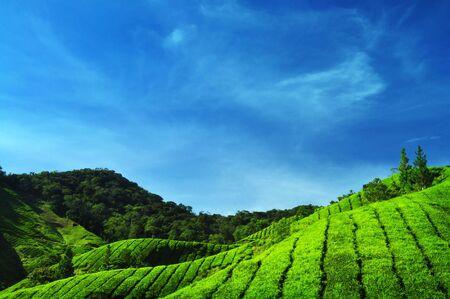 Des plantations de thé à Cameron Highlands en Malaisie.