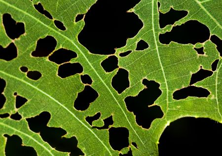 Leaf with holes, eaten by pests. Stock Photo - 5916262