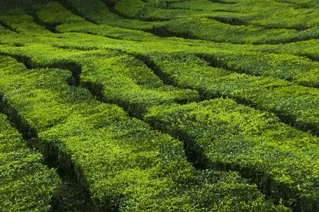 Tea plantation in row, Cameron Highland, Malaysia. Stock Photo - 5916261