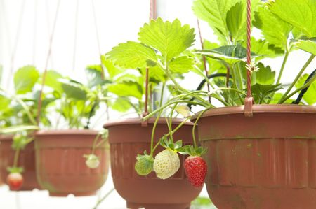Strawberry plant in pot hanging for sale. photo