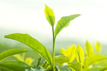 Close up Teeblätter mit Morgensonnenlicht.  Standard-Bild