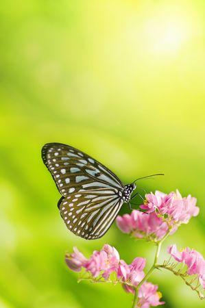 mariposas volando: Mariposa aliment�ndose de una flor  Foto de archivo