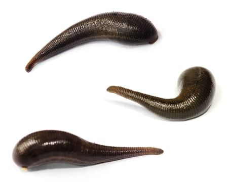 hermaphrodite: Three blood sucking leeches on white background.