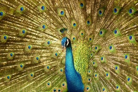 tail fan: Portrait of Peacock with Feathers Out.