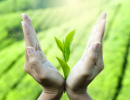 tea light: Womans hands holding a plant to the sun. Stock Photo