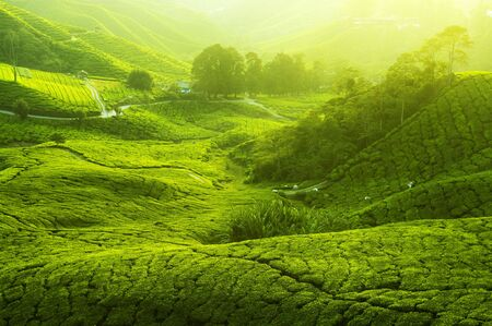 Tea Plantations at Cameron Highlands Malaysia. Sunrise in early morning with fog. Stock Photo - 6566226