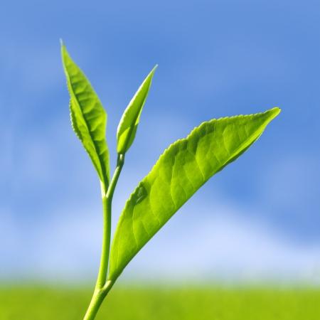 teepflanze: Schlie�en Sie bis Tee Bl�tter mit morgen Sonnenlicht.