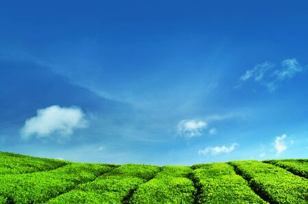 Tea Plantations at Cameron Highlands Malaysia. Stock Photo - 6566096